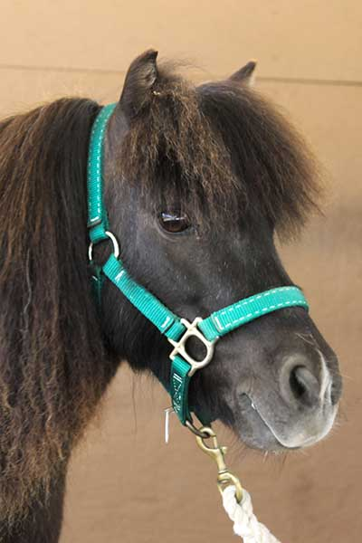 Hope, Miniature Horse mare Paso Robles, CA